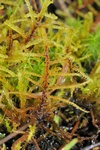 Slender Green Feather-moss (Hamatocaulis vernicosus)